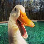 buttercup-duck-excerpt