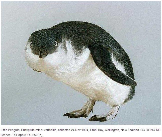 little-penguin-te-papa-museum